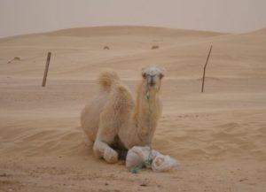 A camel in the desert near Nefta (Tunisia, 2013)