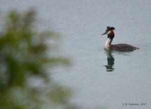 Crested Grebe (Lake Skadar, Albania, 2017)