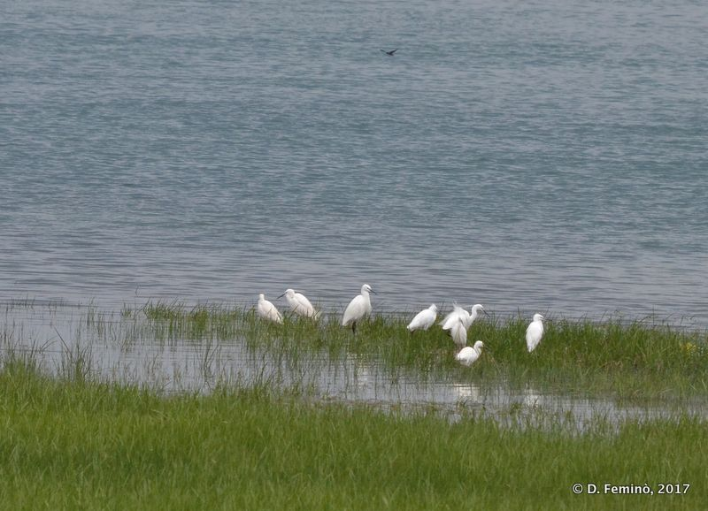Little egrets (Lake Skadar, Albania, 2017)