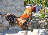 Rooster in Berat castle