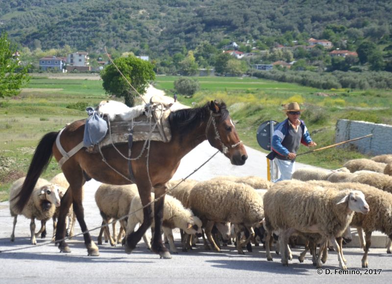 Shepherd at work (Albania, 2017)