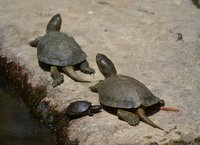 Turtles in Butrint