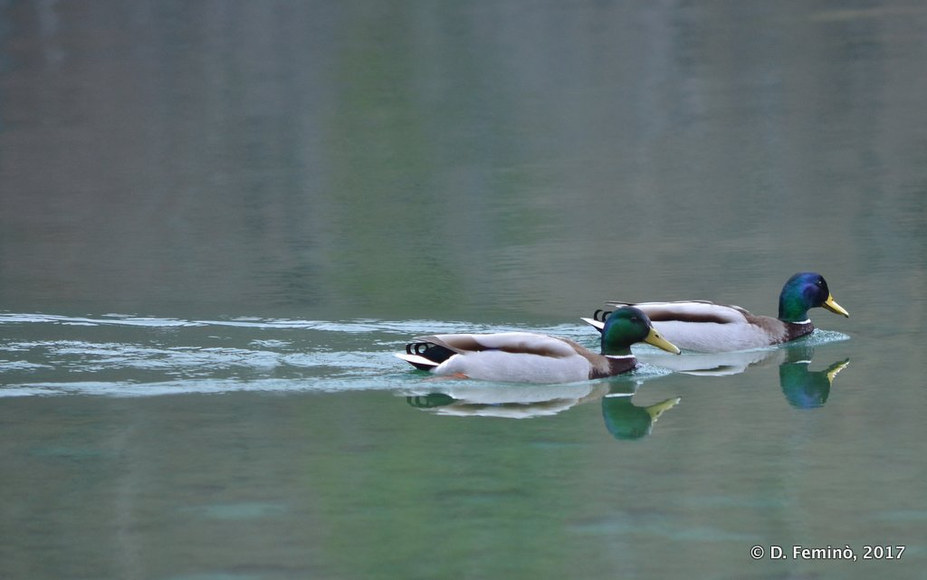 Plitvice National Park, Ducks sliding on the water