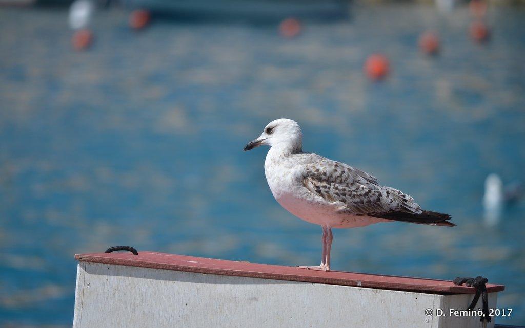 Hvar, seagull