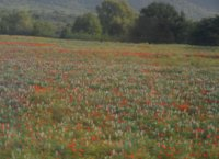 Fields dashed by poppies