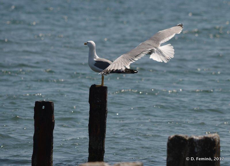 Seagulls (Alexandroupoli, Greece, 2017)