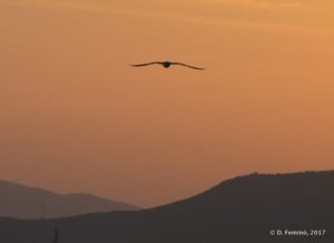 Seagull at sunset (Alexandroupoli, Greece, 2017)