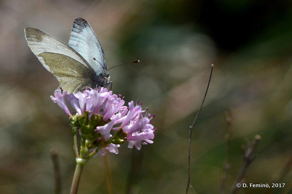 Blagaj, Bosnia, Butterfly