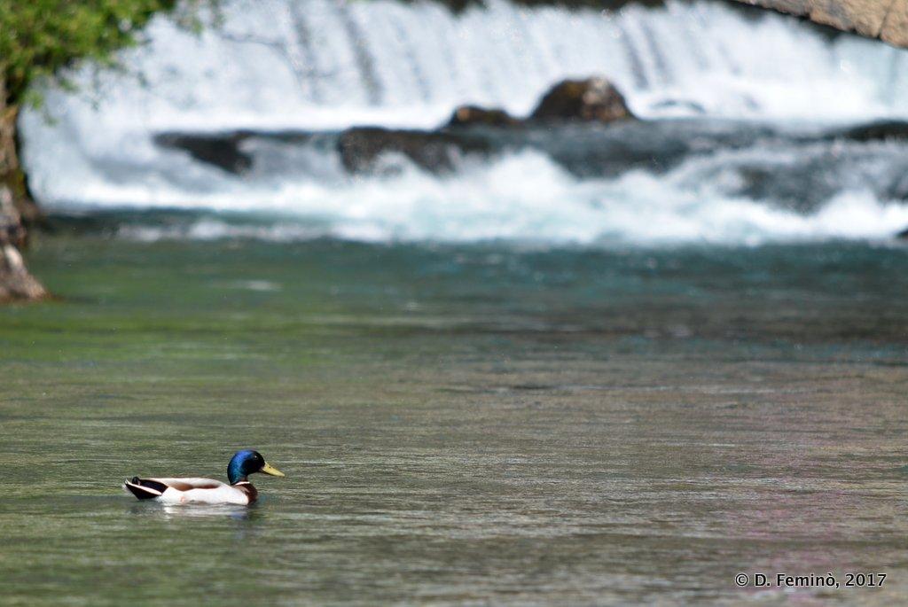 Blagaj, Bosnia, The source (and a duck)