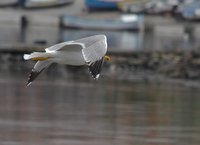 Seagull flying in Nesebar