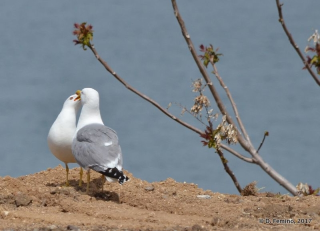 Seagulls (Nesebar, Bulgaria, 2017)