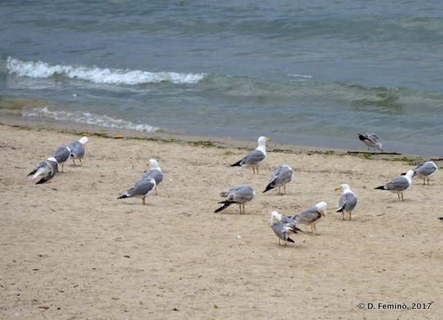 Seagulls by the sea (Varna, Bulgaria, 2017)
