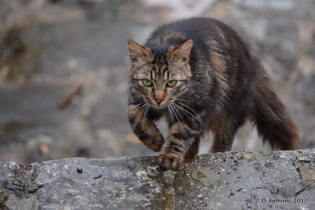 Perast, Montenegro, Cat climbing stairs