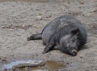 Sleepy pork