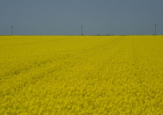 Yellow fields on the way to Tulcea