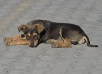 Dog in Sulina
