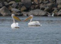 Pelicans in delta
