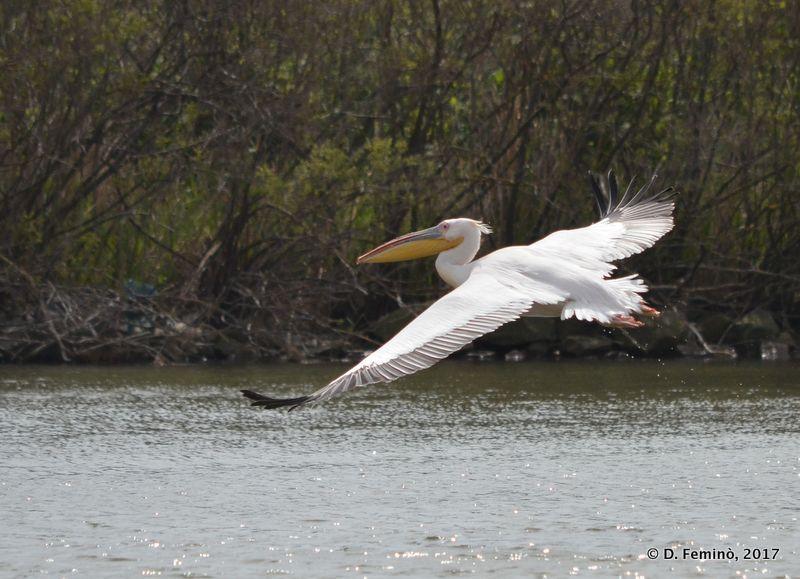 Pelican (Romania, 2017)