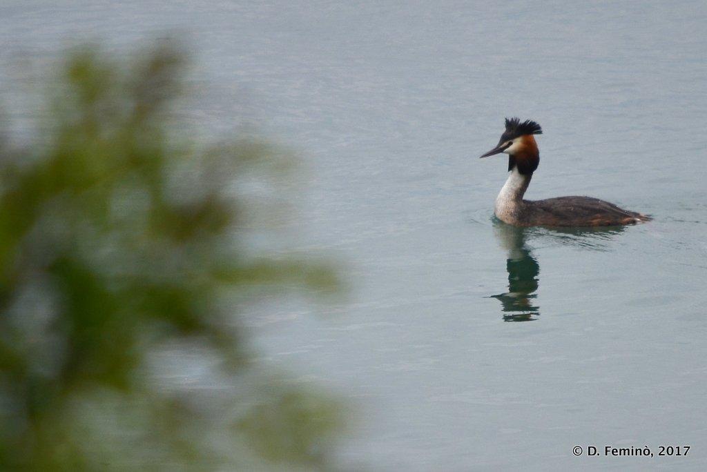 Lake Shkodra, a great crested grebe