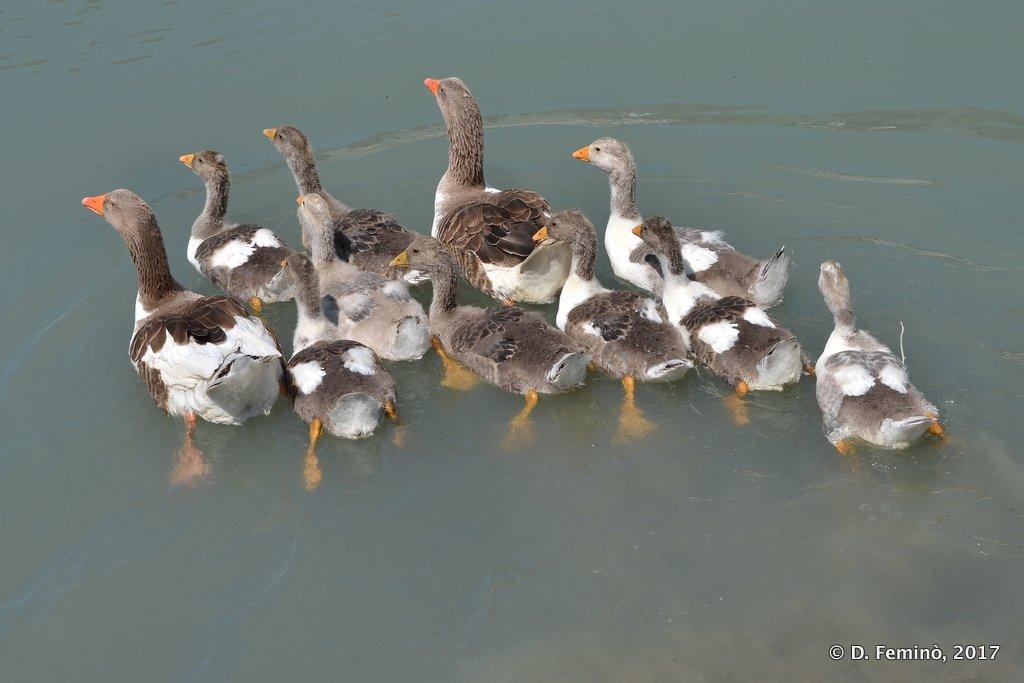 Pojan, Compact group of ducks