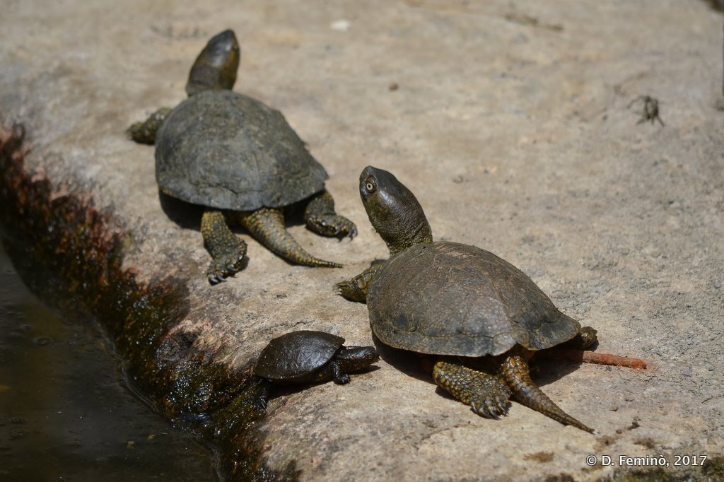 Butrint, Turtle family