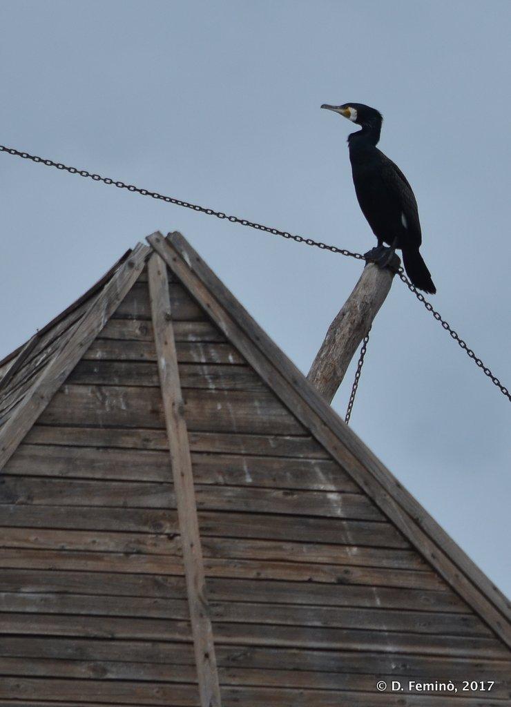 Nesebar, Bulgaria, Disquieting cormorant