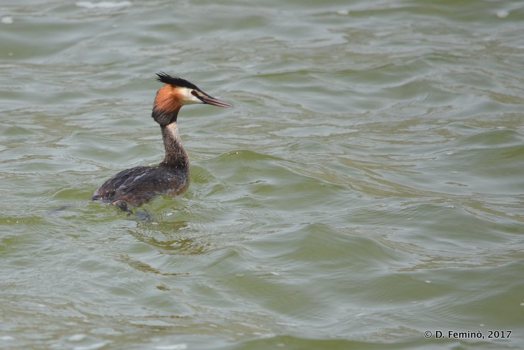 Ioannina, Greece, Great crested grebe in the lake