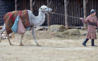 Managing a camel