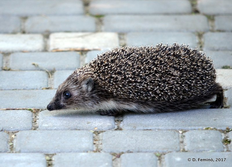 Hedgehog in the Park