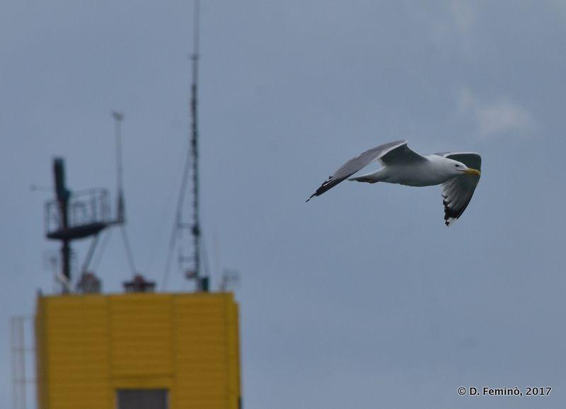 Seagull (Odessa, Ukraine, 2017)