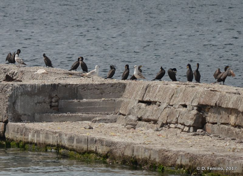Cormorants and seagull (Odessa, Ukraine, 2017)