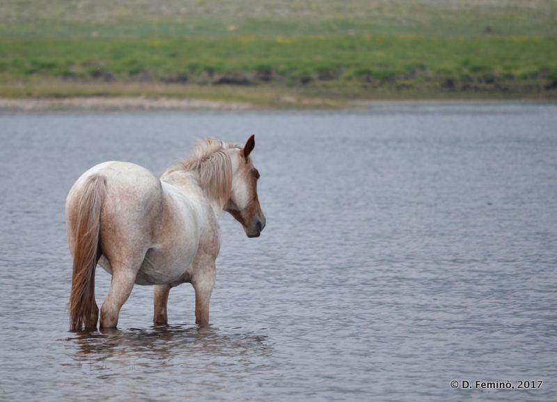 Horse in the lagoon (Surkhayta, Russia, 2017)