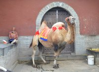 Camel for tourists