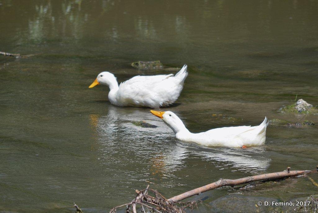 Orheiul Vechi, Moldova, Ducks in river Raut