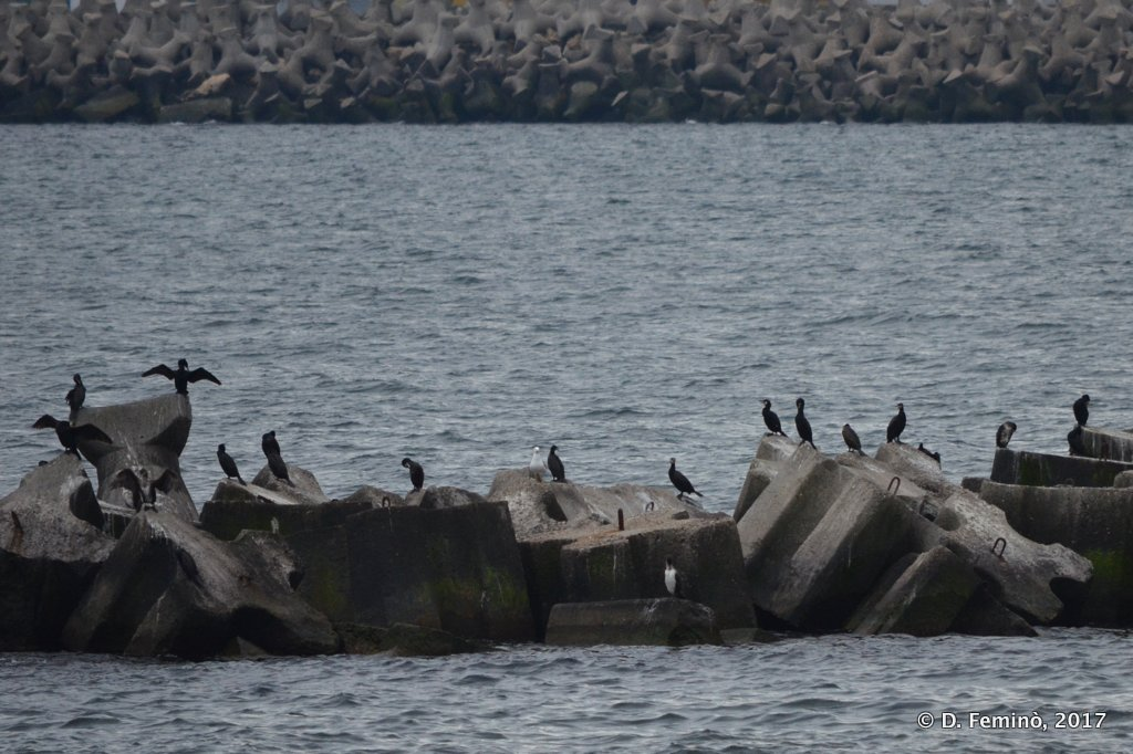 Constanta, Cormorants on the breakwater