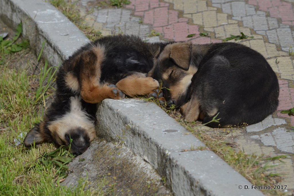 Sulina, very very sleepy dogs