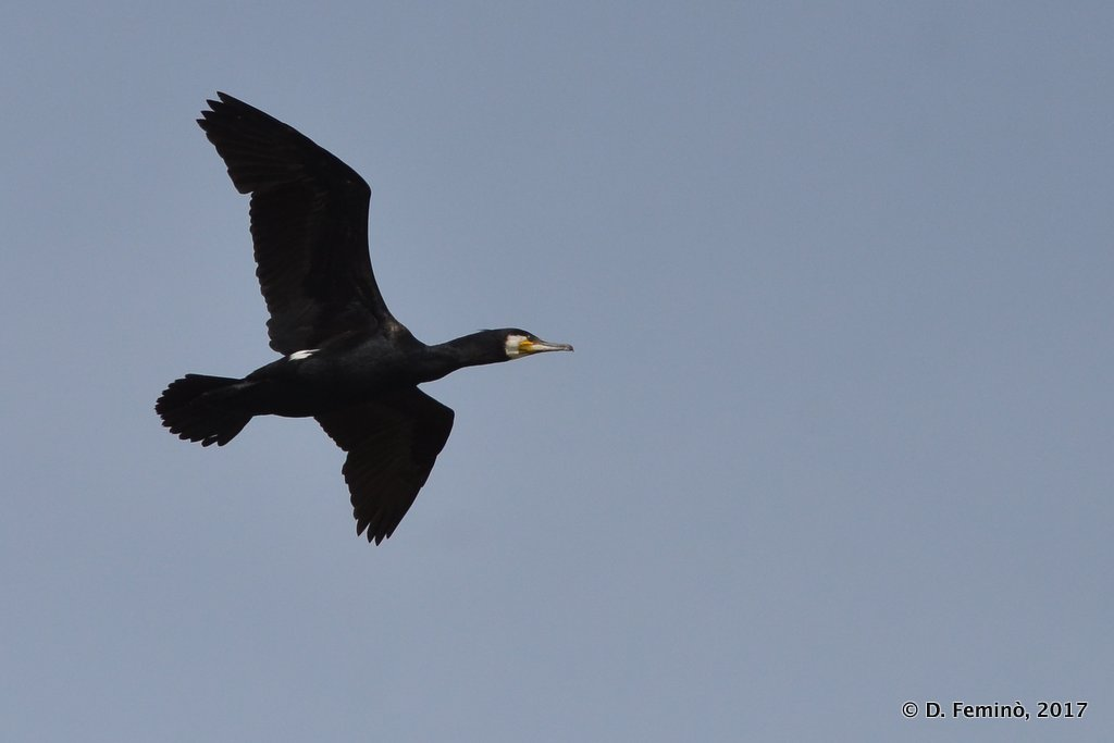 Danube Delta, the flight of the cormorant