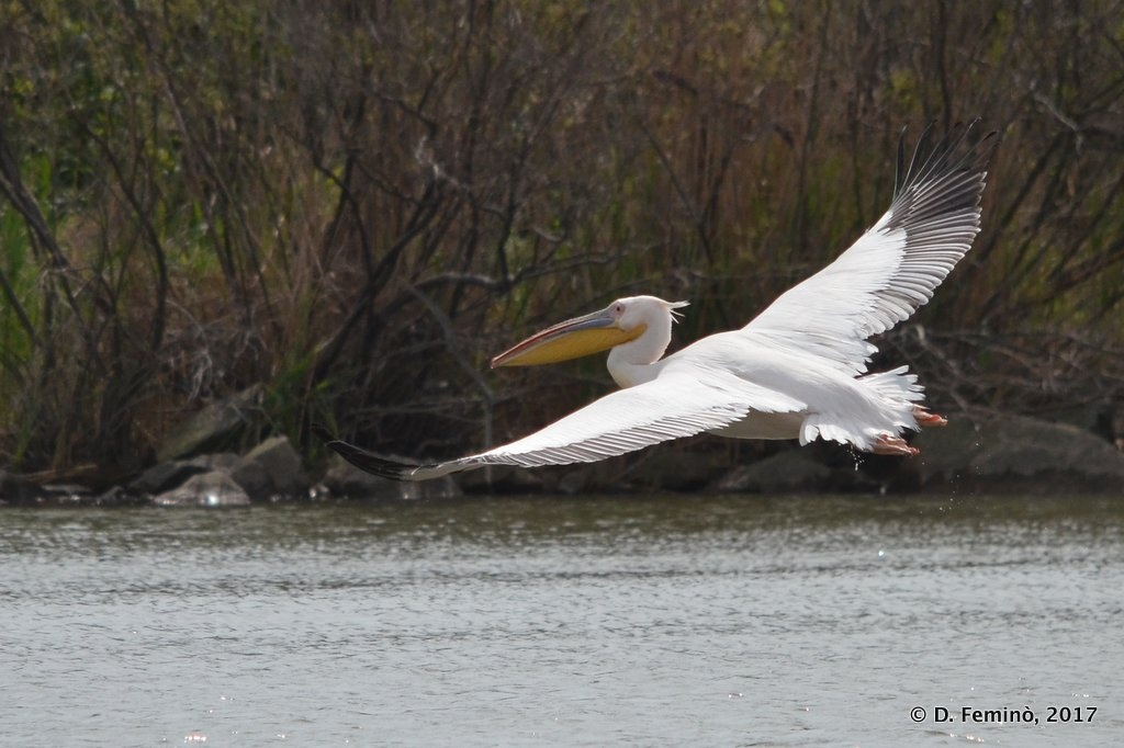 Danube Delta, a pelican taking off