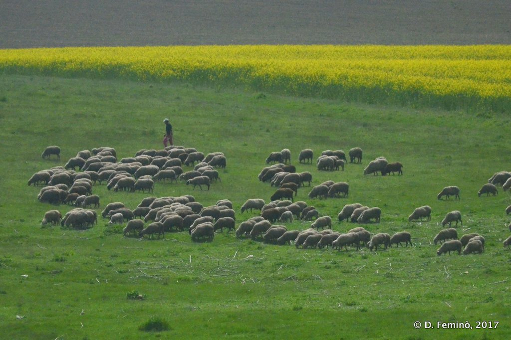 A flock of sheep on the road to Bucharest