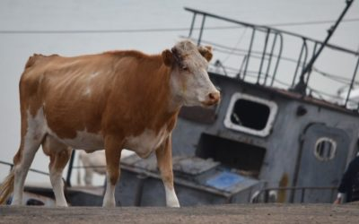 Cow and boat in Khuzhir