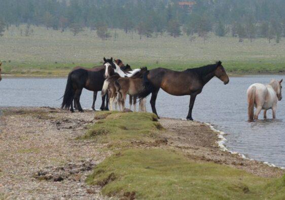 Horses in Surkhayta lagoon