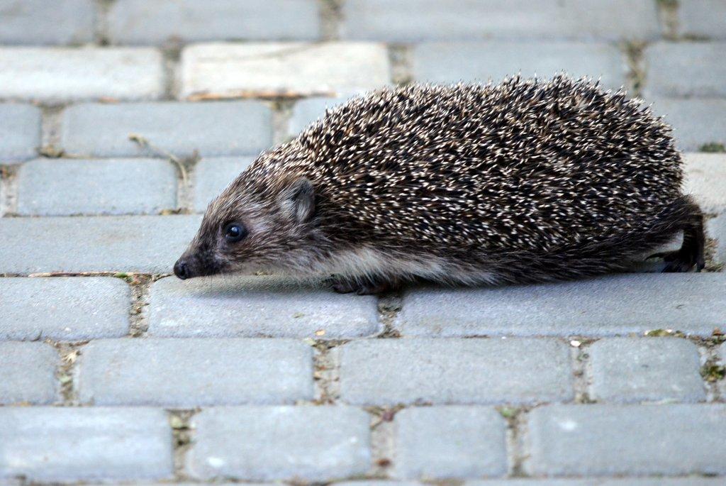Odessa, An hedgehog in park Tarasa Shevchenko