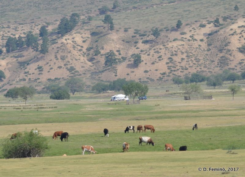 Cattle and hills (Mongolia, 2017)