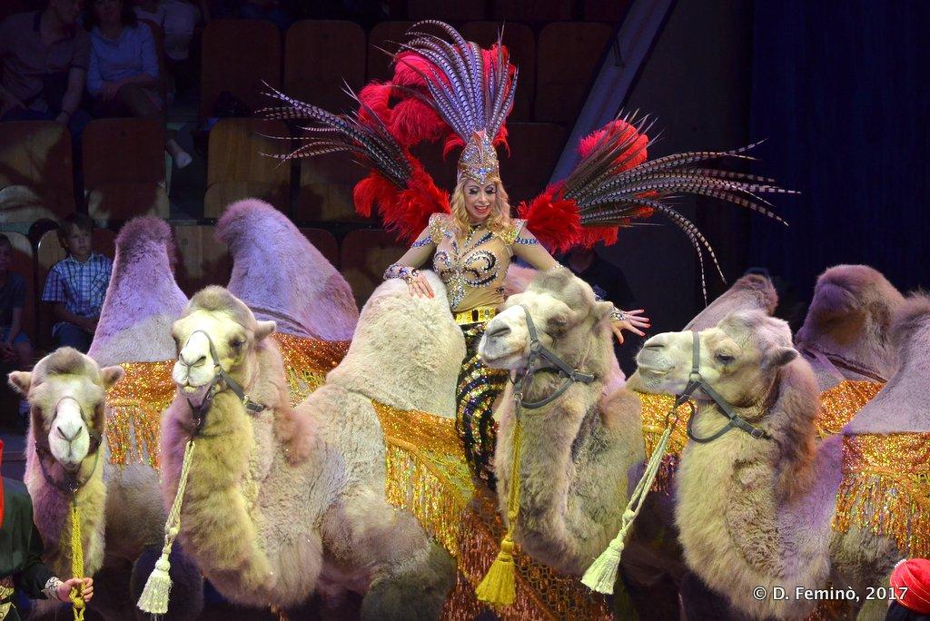 Tyumen, camel show at the circus
