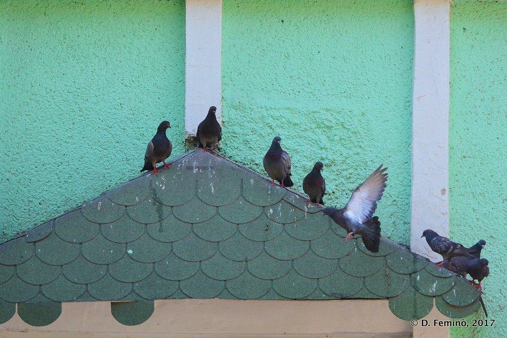 Novosibirsk, pigeons resting