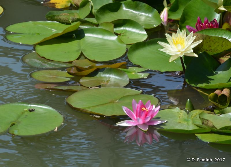 Lotus Flower in the canal
