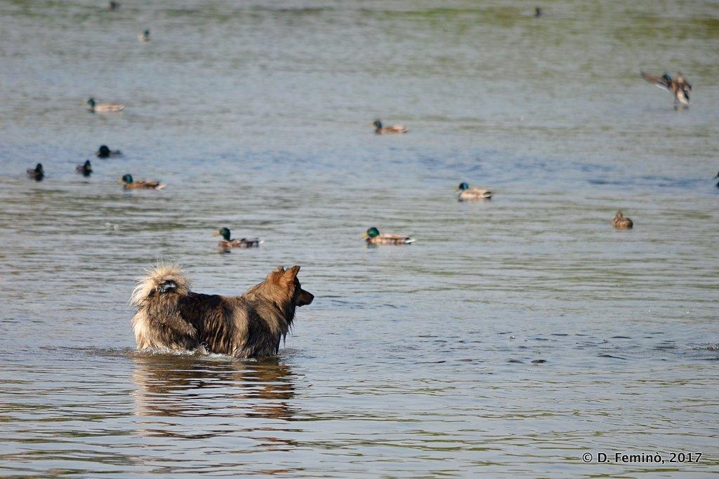 Krasnoyarsk, A dog spoiled for choice in river Yenisei