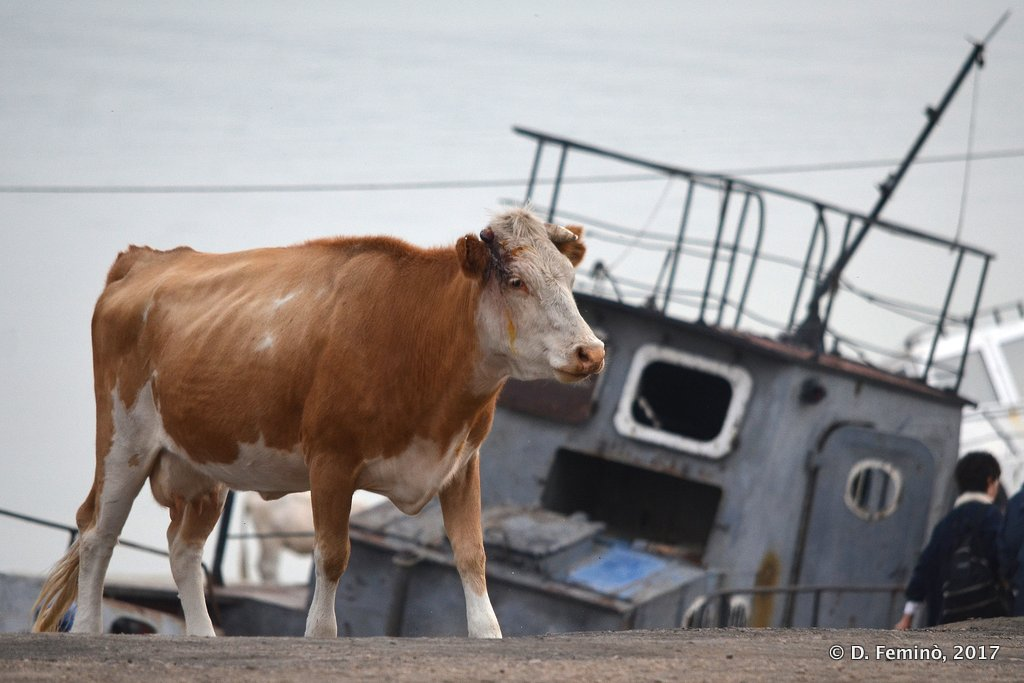 Khuzhir, Cow at the harbour