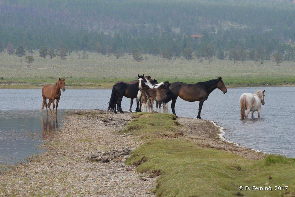 Lake Baikal, Horses in the Surkhayta lagoon