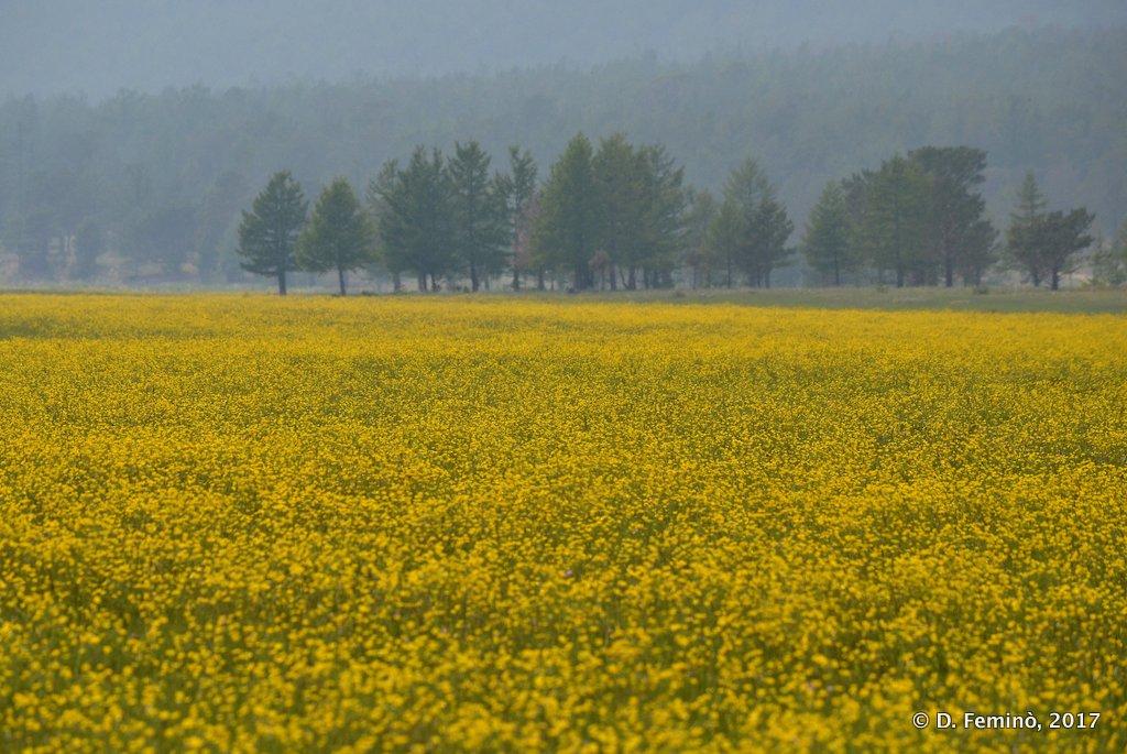 Lake Baikal, Yellow fields near Surkhayta